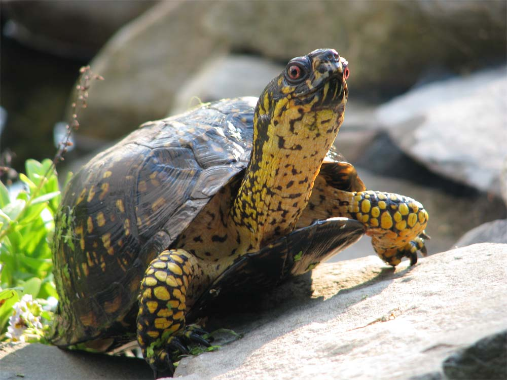 Box turtle climbing out of pond